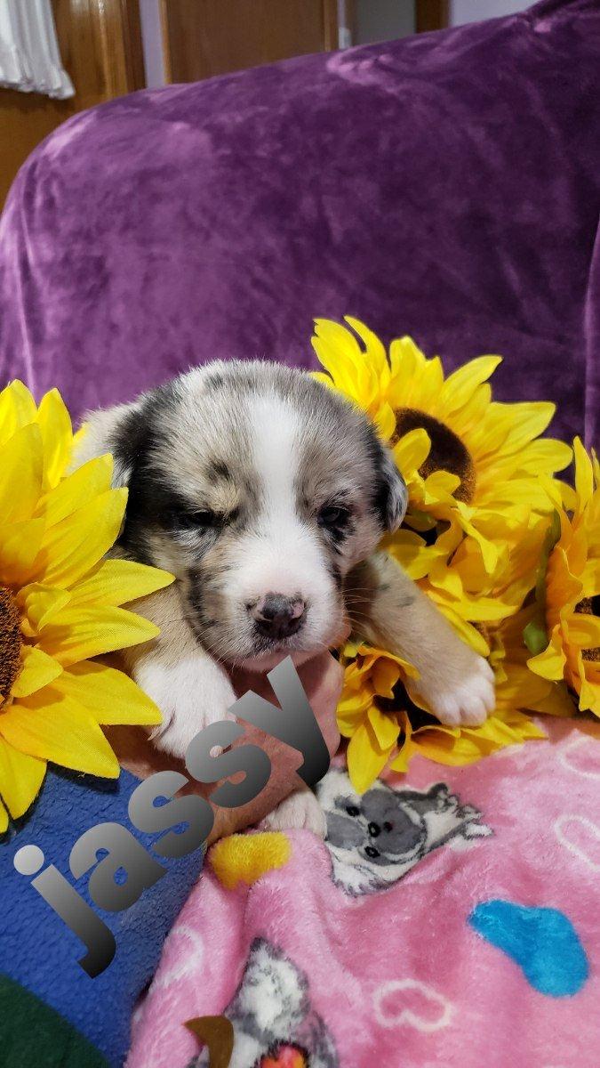 Pending- doggie Australian Shepherd for sale in Grabill, Indiana