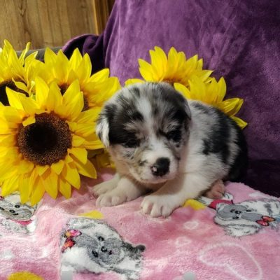 Kenzi - Australian Shepherd female puppy for sale near Grabill, Indiana