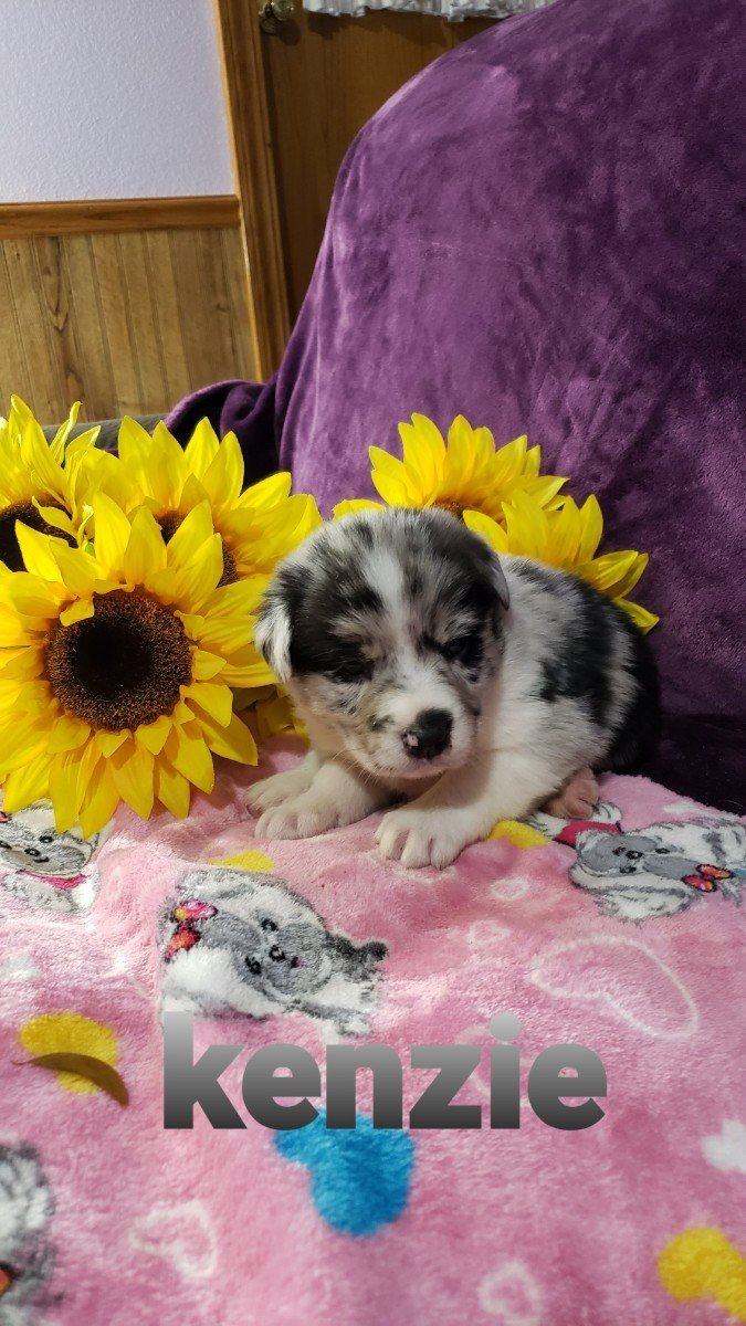 Pending- Australian Shepherd female puppy for sale near Grabill, Indiana