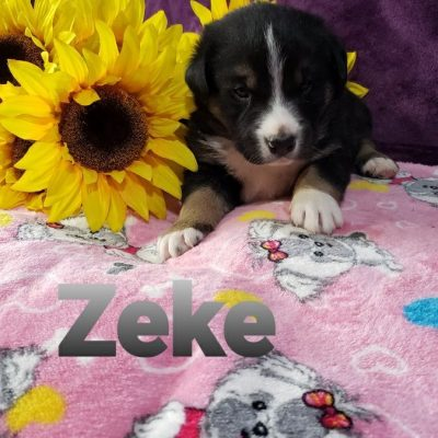 Zeke - Australian Shepherd male puppie for sale in Grabill, Indiana