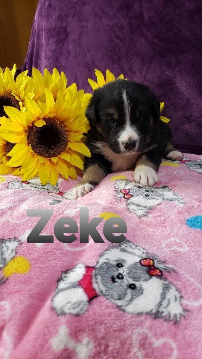 Zeke - Australian Shepherd male puppie for sale in Grabill, Indiana