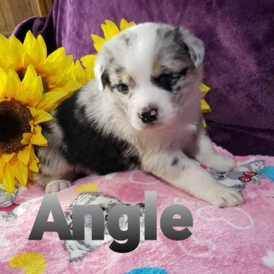Pending - female Australian Shepherd doggie for sale at Grabill, Indiana