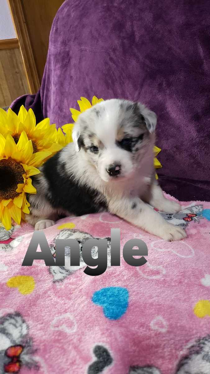 Pending - female Australian Shepherd doggie for sale at Grabill, Indiana