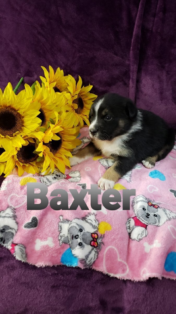Baxter - Australian Shepherd male puppy for sale at Grabill, Indiana
