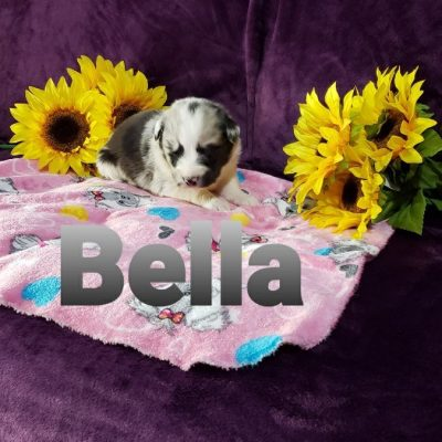 Bella - female Australian Shepherd pup for sale in Grabill, Indiana