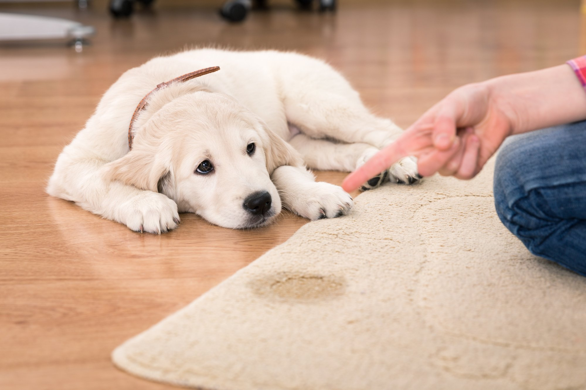 House training a Golden Retriever puppy after it peed on a rug