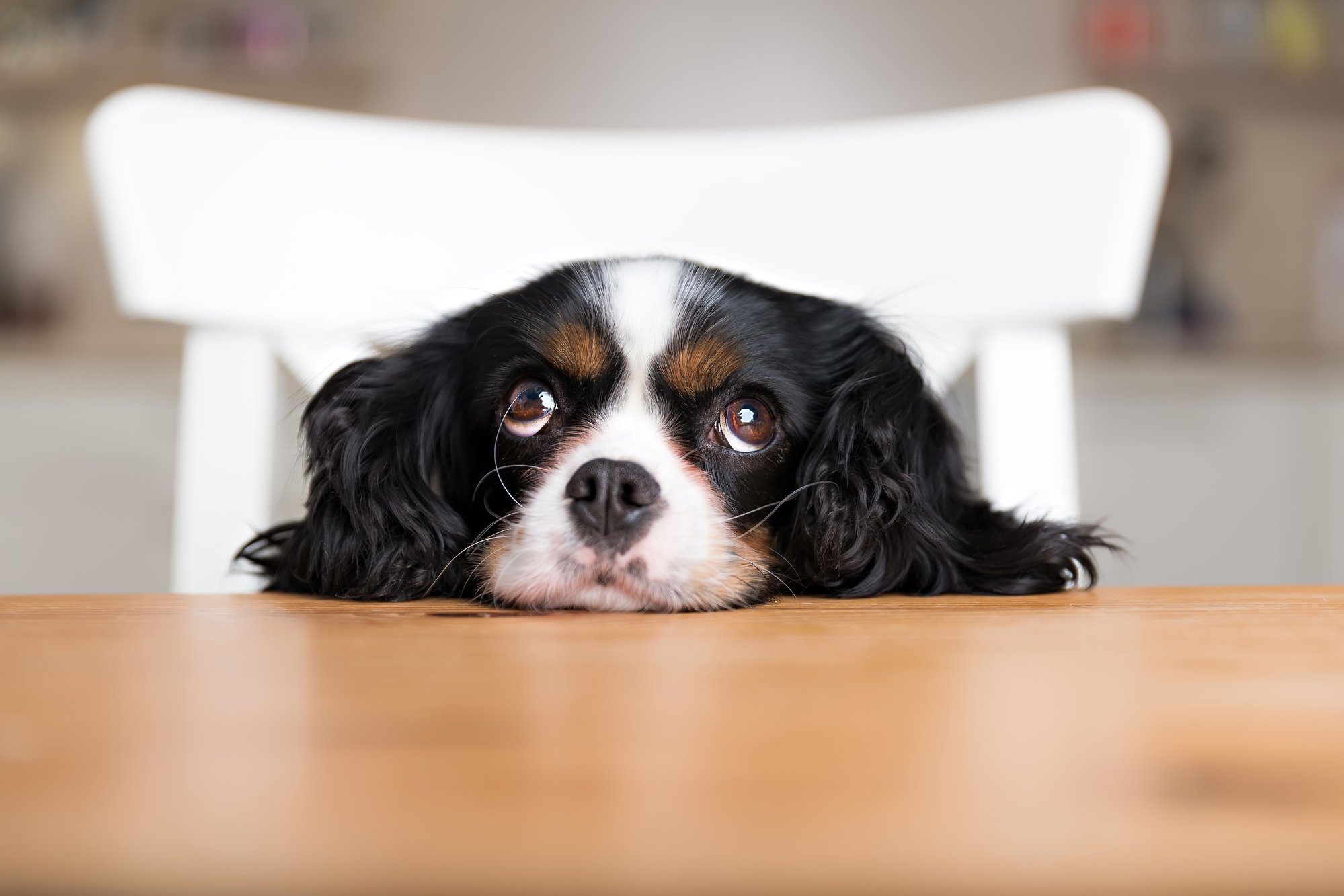 cute puppy with chin on kitchen table begging for food