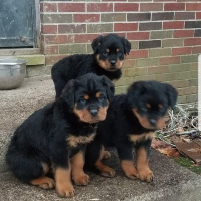 Rottweiler puppies for sale in Fort Wayne, Indiana - Ready for New Home