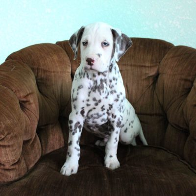 Benji - puppy AKC Dalmatian for sale in Spencerville, Indiana