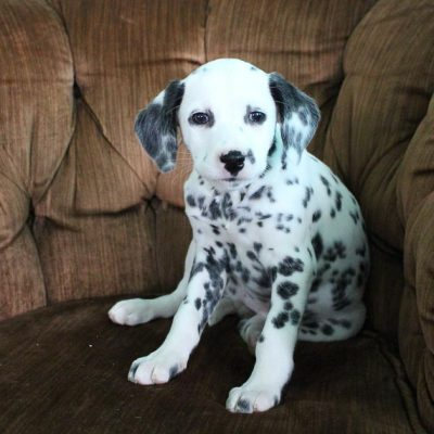 Barbie - AKC Dalmatian female pup for sale at Spencerville, Indiana
