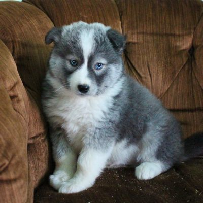 Buddy - Pomsky puppy for sale in Spencerville, Indiana