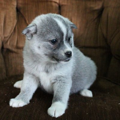 Krista - female Pomsky pup for sale at Spencerville, Indiana