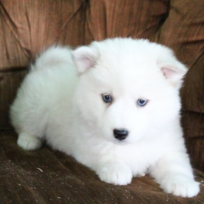 Beauty - Pomsky female puppie for sale near Spencerville, Indiana