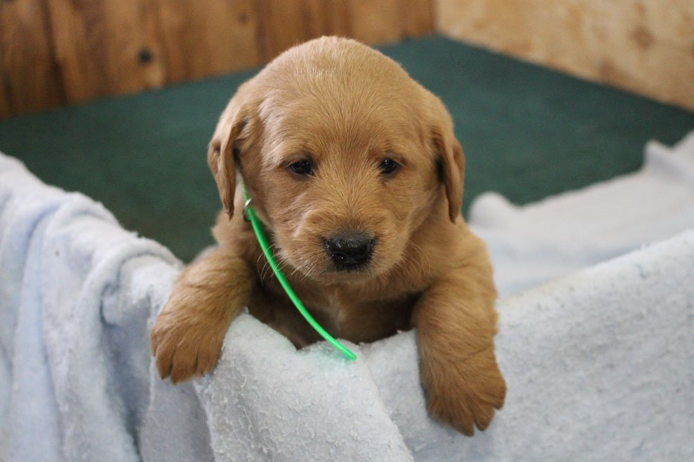 Biscuit - doggie mini Labradoodle for sale at Auburn, Indiana