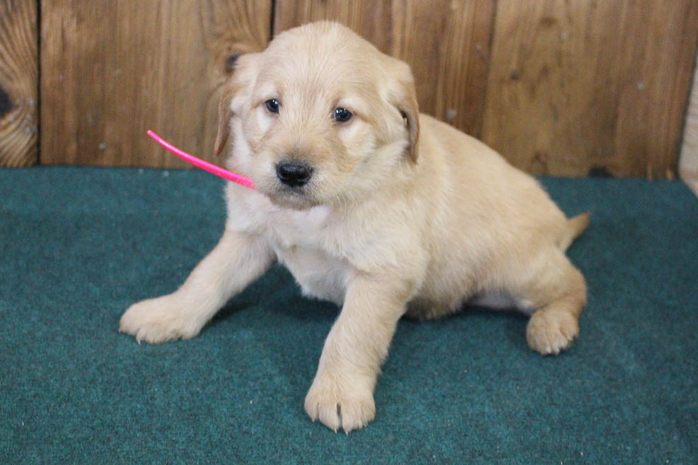 Bert - mini Labradoodle pup for sale at Auburn, Indiana