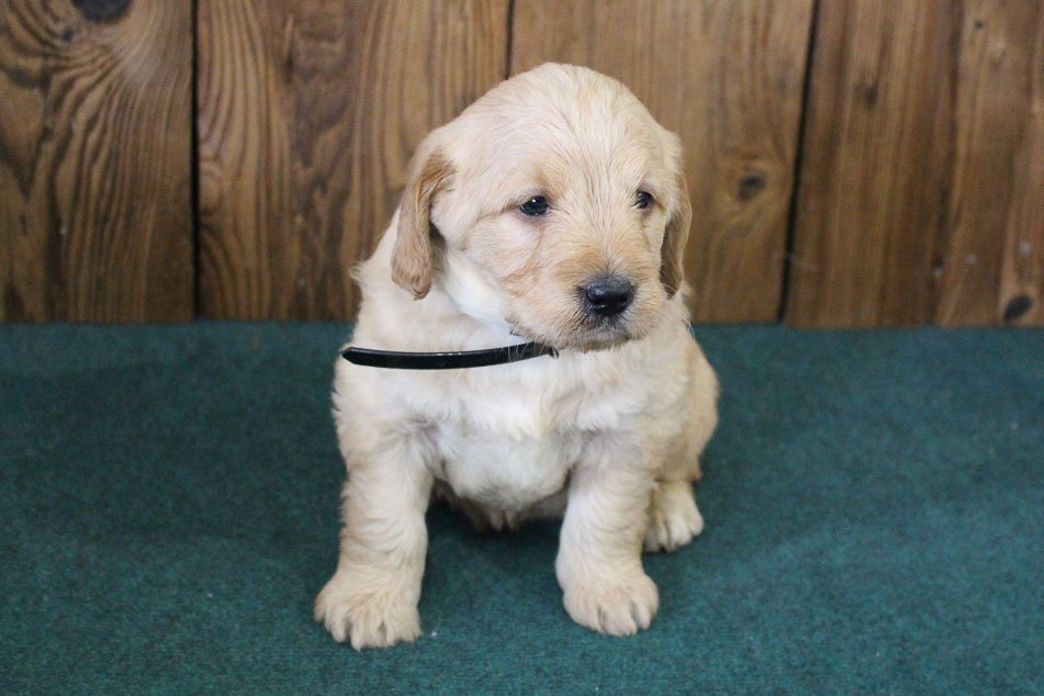 Bobby - mini Labradoodle puppy for sale in Auburn, Indiana