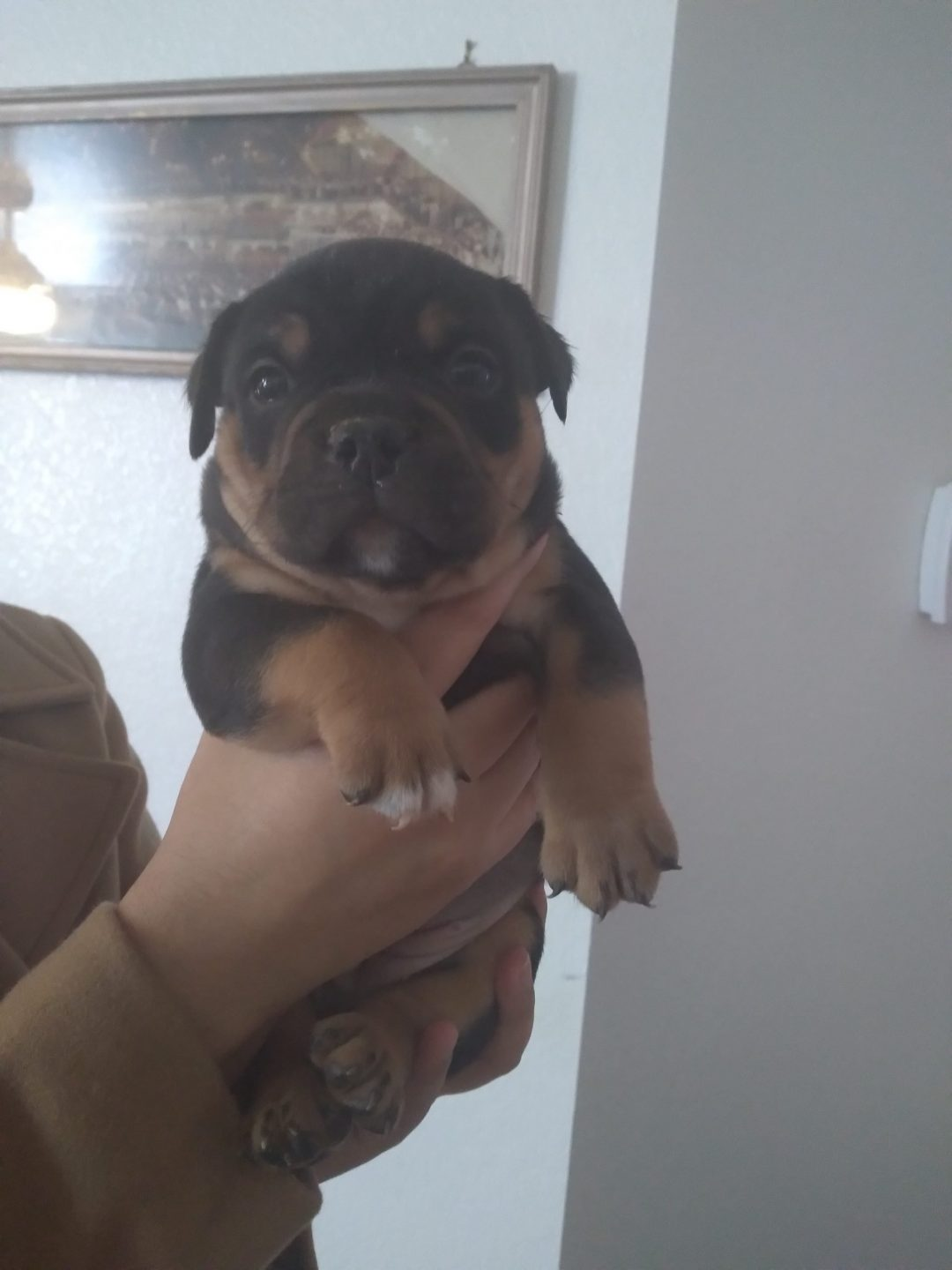 Mia - ABKC American bully female puppy for sale in Kyle, Texas