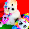 BabyMermaid - CKC Maltipoo female puppie for sale at Houston, Texas