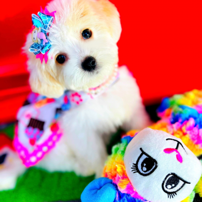 BabyMermaid - CKC Maltipoo female puppie for sale at Houston, Texas