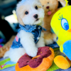 BabyRomeo - Precious White with Apricot markings Male Maltipoo Ready