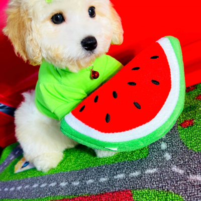 FruityBear - male CKC Maltipoo doggie for sale at Houston, Texas