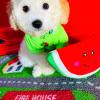 FruityBear - male CKC Maltipoo doggie for sale at Houston, Texas