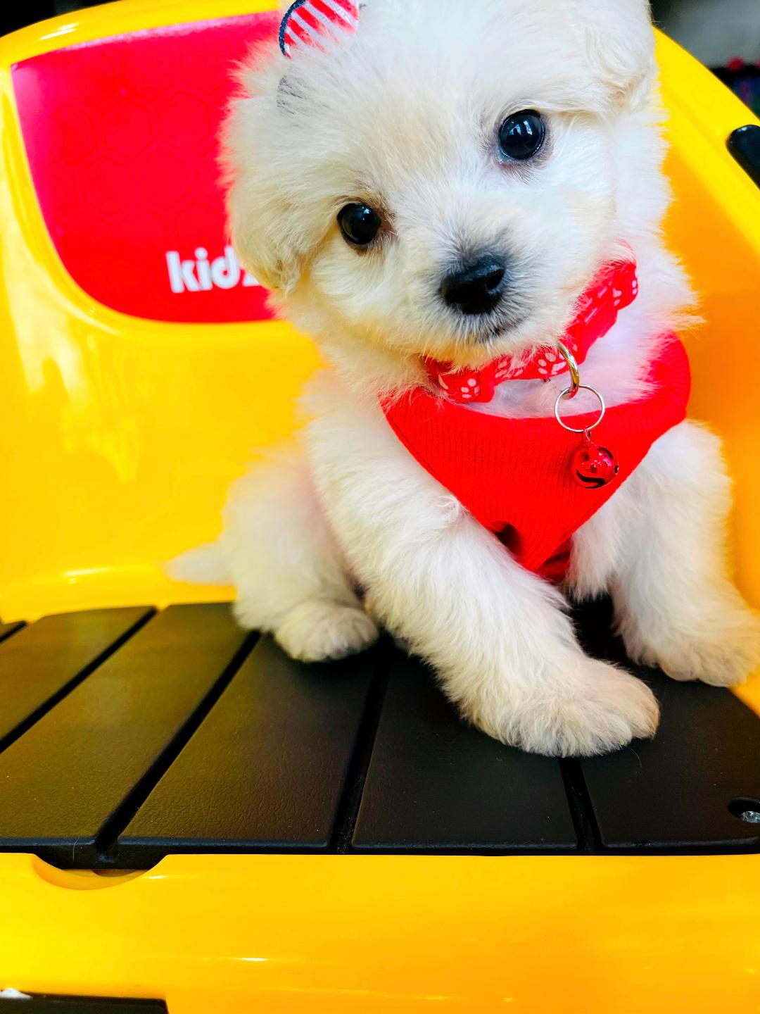 SweetBear - CKC male Maltipoo puppy for sale at Houston, Texas