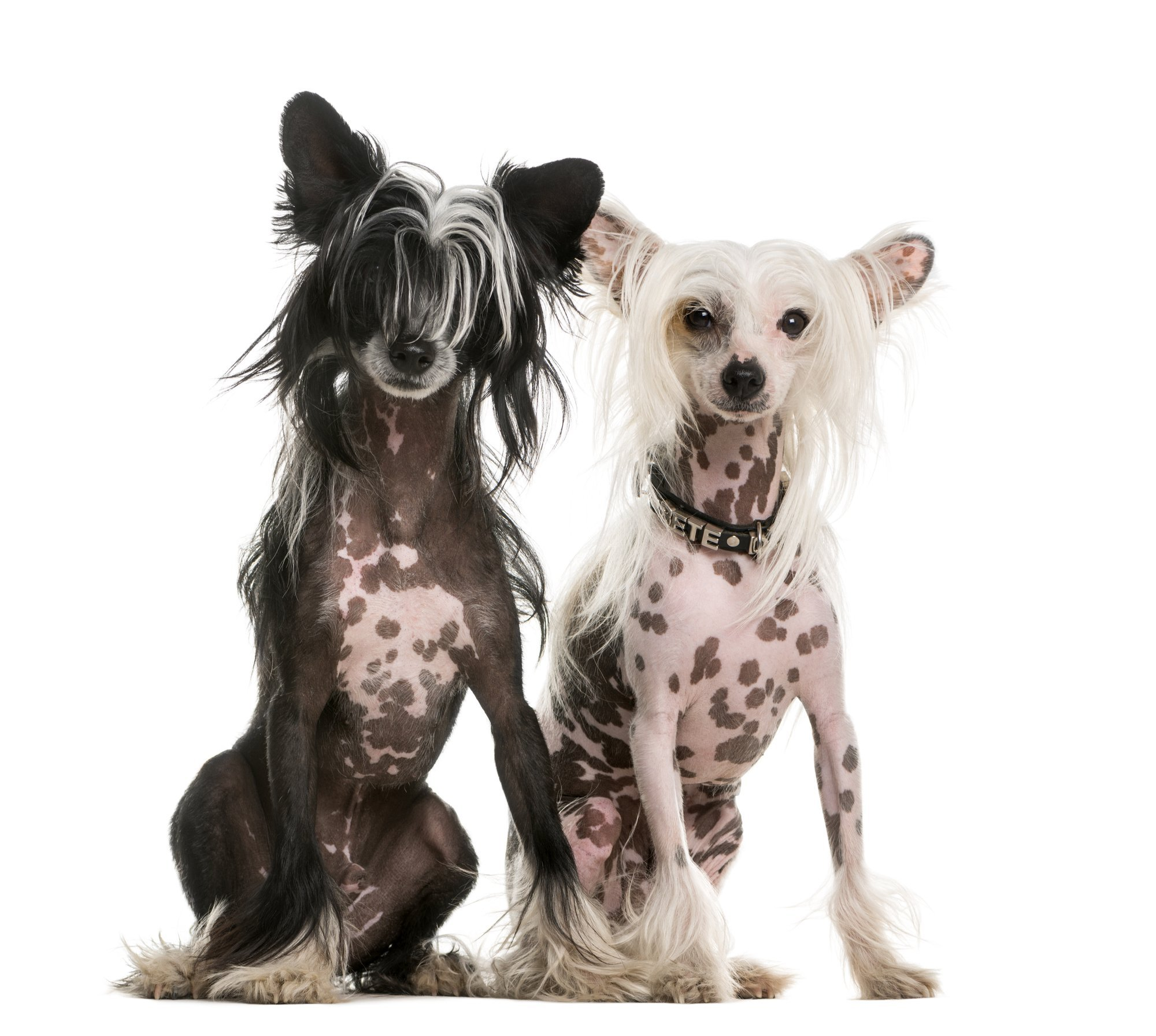 Two cute Chinese Crested dogs with white background.
