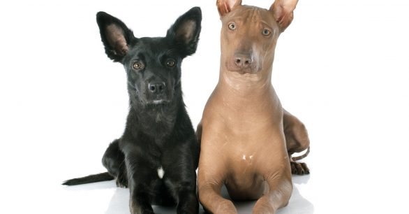 Eight Hairless Dogs (+plus how to care for them)