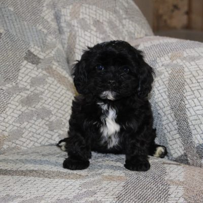 Candy - Cavapoo female puppy for sale