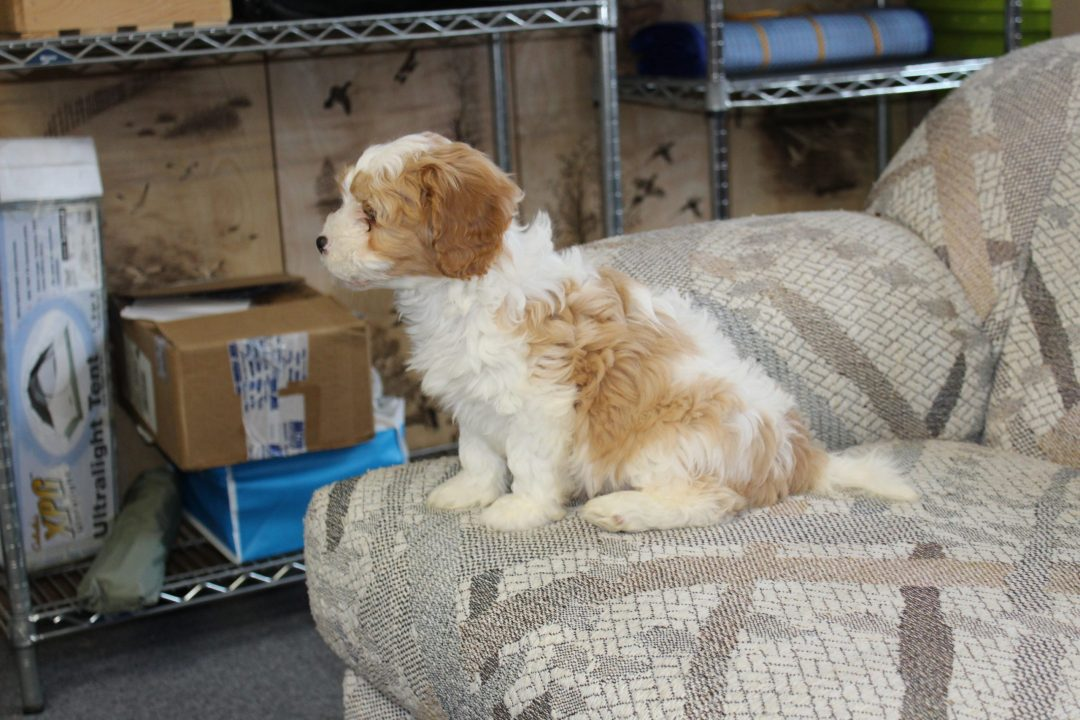 Bobbie - Cavapoo male doggie for sale