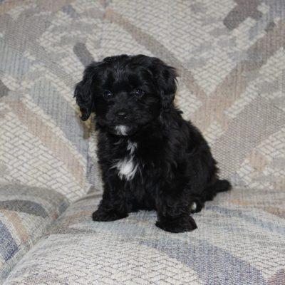 Benji - Cavapoo male doggie for sale