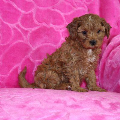 Sasha - Cavapoo doggie for sale