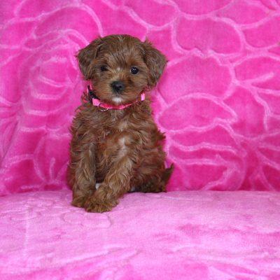 Sierra - Cavapoo puppy for sale