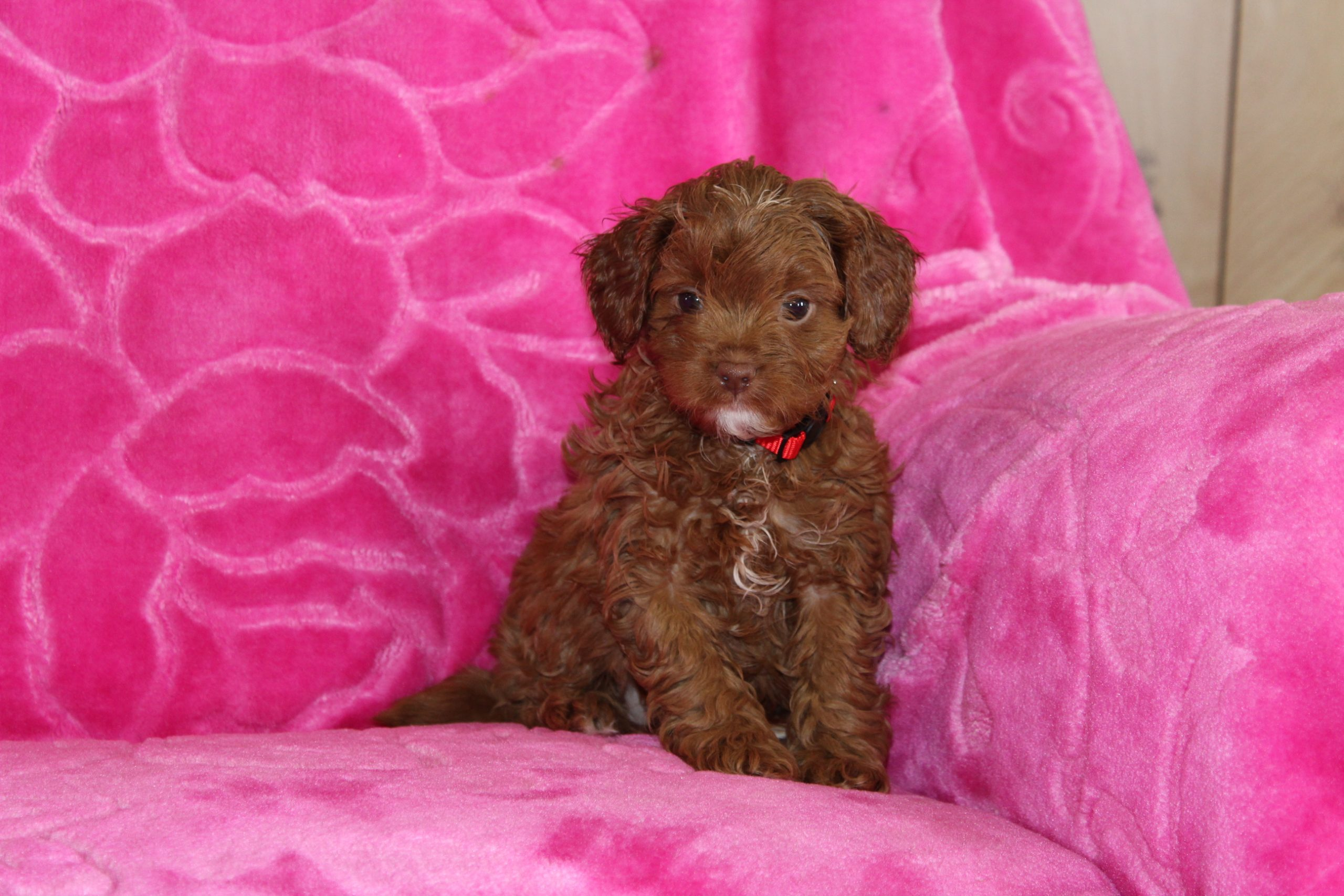 Sailor - pup Cavapoo for sale