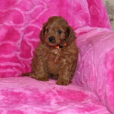 Scooter - Cavapoo puppie for sale