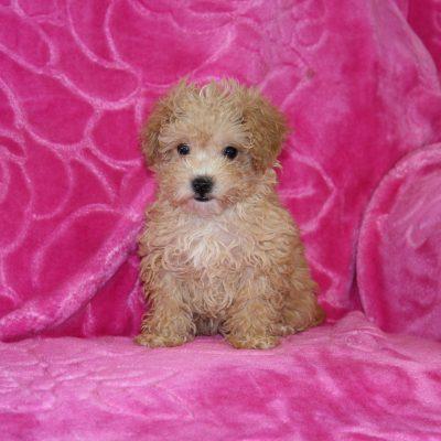 Heidi - female Havapoo puppy for sale