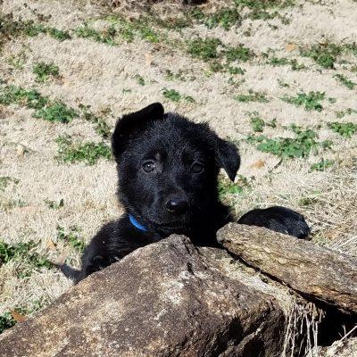 Bentley - AKC Black German Shepherd male pup for sale at Spartanburg, South Carolina