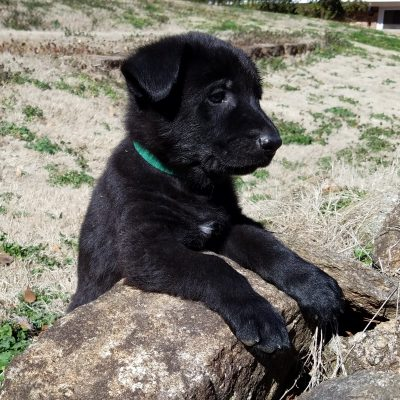 Buja - AKC male Black German Shepherd puppy for sale in Spartanburg, South Carolina