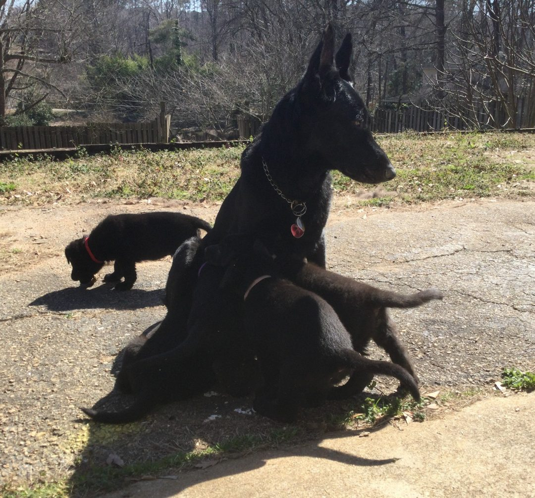 Bentley - AKC Black German Shepherd male pup for sale at Spartanburg, South Carolina