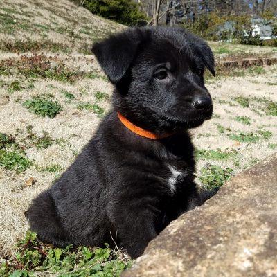 Bodi - AKC Black German Shepherd male pupper for sale near Spartanburg, South Carolina