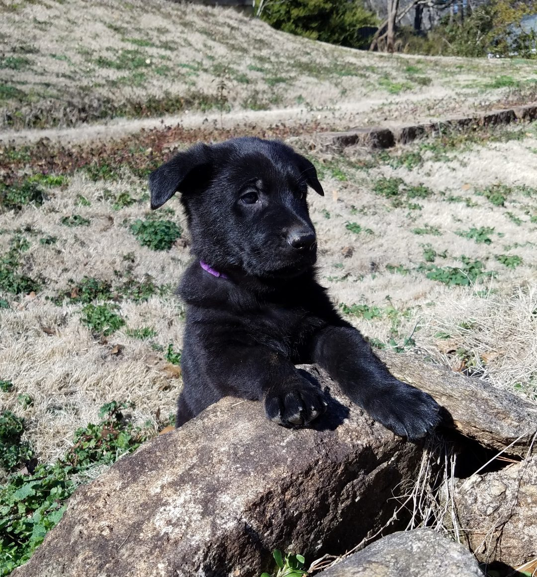 Banshee - AKC male Black German Shepherd puppy for sale in Spartanburg, South Carolina