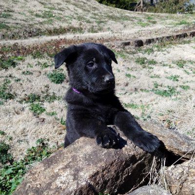 Banshee - AKC male Black German Shepherd puppy for sale in Spartanburg, South Carolina