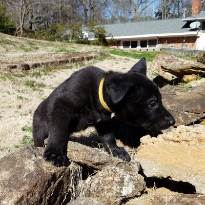 Bailey - doggie AKC Black German Shepherd for sale at Spartanburg, South Carolina