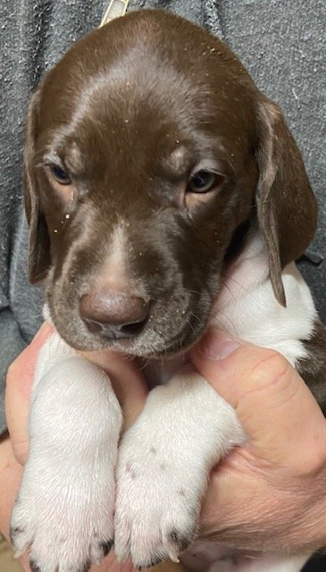 German Shorthaired Pointer Puppies (Copy)