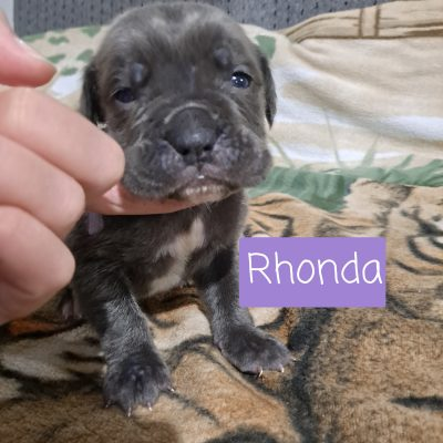 Cane Corso puppies for sale at New Haven, Indiana
