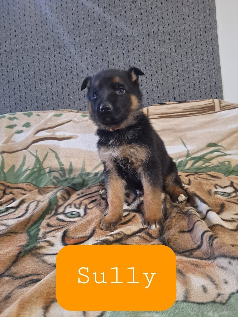 German Shepherd male puppy for sale in New Haven, Indiana