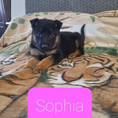 German Shepherd female pup for sale near New Haven, Indiana