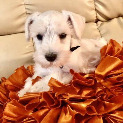 Caren - AKC Miniature Schnauzer puppy for sale in Houston, Texas