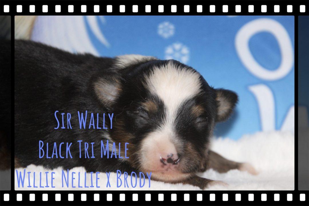 Sir Wally - male toy Australian shepherd puppie for sale in Utica, Kentucky